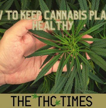 How To Keep Cannabis Plants healthy